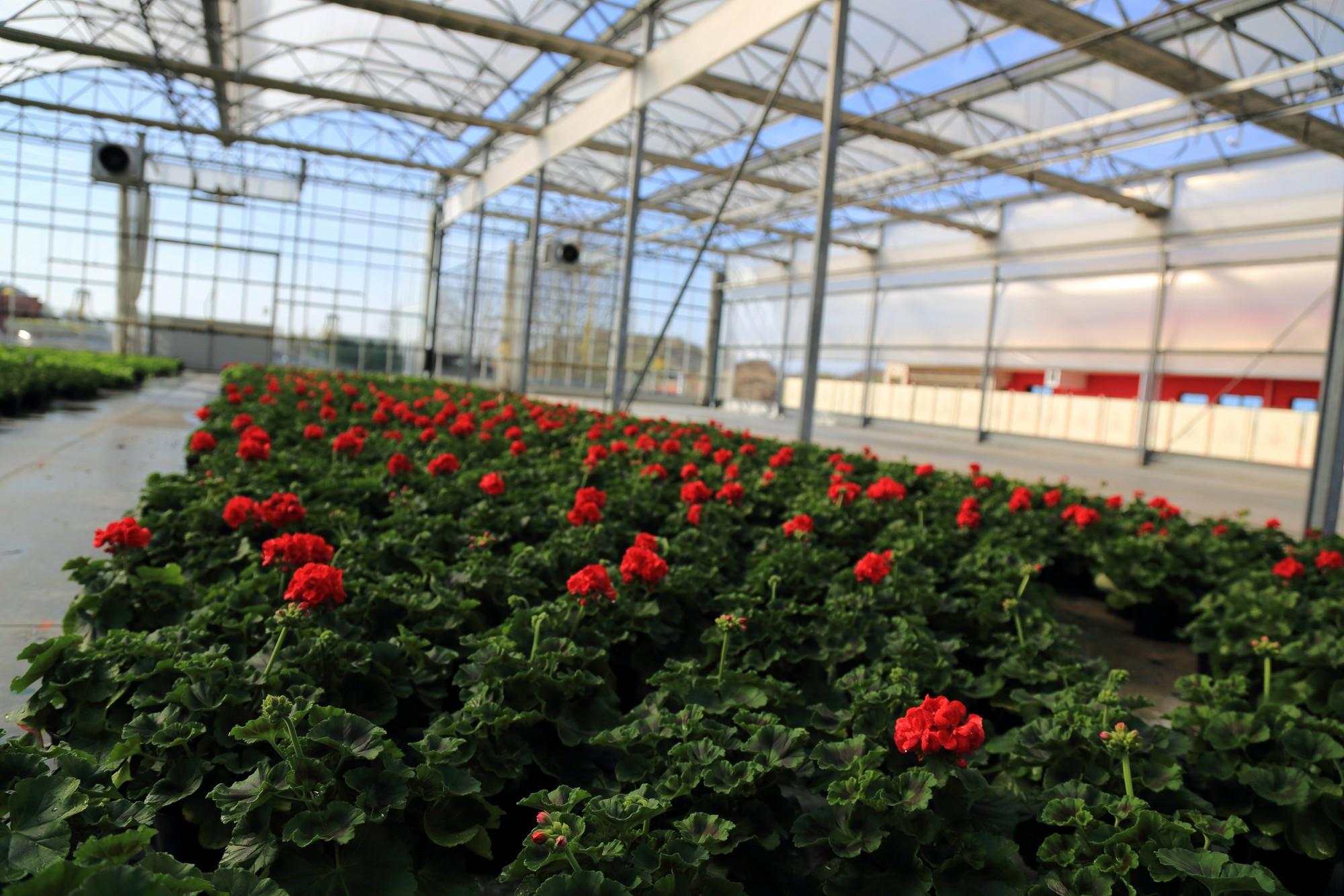Floricoltura Zanchi, Verdello, Bergamo, produzione e vendita di pianti verdi e fiorite